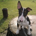 Bull Terrier Miniature hd