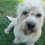 Dandie Dinmont Terrier wallpaper