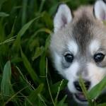 Husky pic