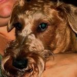 Irish Terrier hd photos