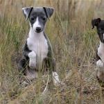 Italian Greyhound photo