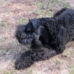 Kerry Blue Terrier pic