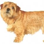 Norfolk Terrier wallpaper