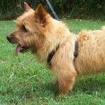 Norwich Terrier funny