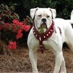 American Bulldog free