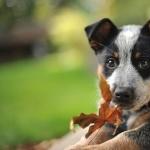Australian Cattle Dog breed