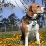 Beagle-Harrier 1080p