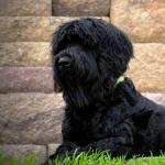 Black Russian Terrier wallpapers for desktop