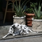 Dalmatian free download
