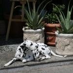 Dalmatian free download