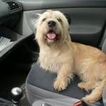 Dandie Dinmont Terrier images