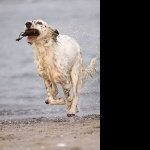 English Setter high definition wallpapers