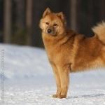 Finnish Spitz cute