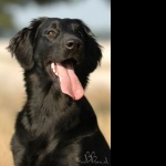 Flat-Coated Retriever high definition photo