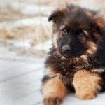 German Shepherd Dog free download