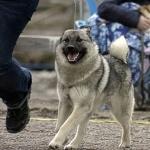Norwegian Elkhound desktop