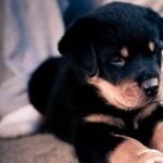 Rottweiler free