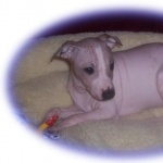 American Hairless Terrier new wallpapers