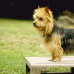 Australian Terrier 1080p