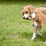 Beagle-Harrier pics