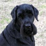 Black Russian Terrier photos