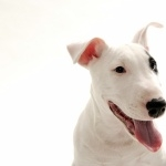 Bull and Terrier photo