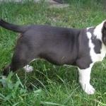 Bull Terrier Miniature breed