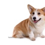 Cardigan Welsh Corgi background