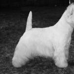 Dandie Dinmont Terrier desktop