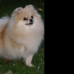 German Spitz new wallpapers