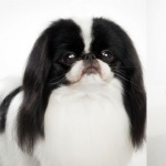 Japanese Chin hd desktop