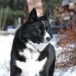 Karelian Bear Dog 1080p