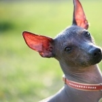 Mexican Hairless Dog free wallpapers