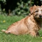 Norfolk Terrier desktop wallpaper