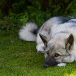 Norwegian Elkhound hd