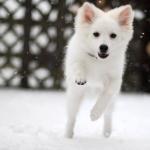 American Eskimo Dog background