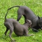 American Hairless Terrier pics