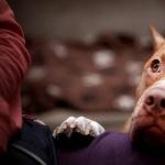 American Pit Bull Terrier pics