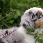 Australian Kelpie cute