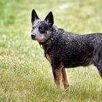 Australian Stumpy Tail Cattle Dog desktop wallpaper