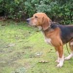 Beagle-Harrier wallpapers for desktop