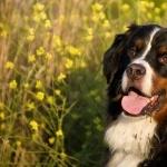 Bernese Mountain Dog desktop