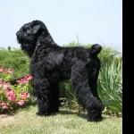 Black Russian Terrier desktop wallpaper