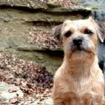 Border Terrier images