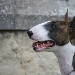 Bull and Terrier hd wallpaper