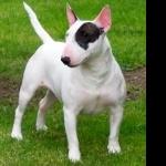 Bull Terrier Miniature new photos