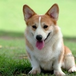 Cardigan Welsh Corgi high definition photo