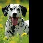 Dalmatian hd pics