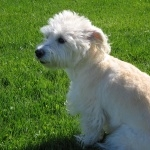 Dandie Dinmont Terrier hd