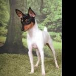 Fox Terrier free wallpapers